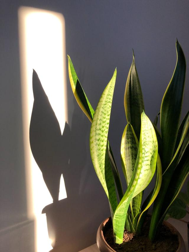 Bogenhanf im Topf vor einer weißen Wand in der Sonne
