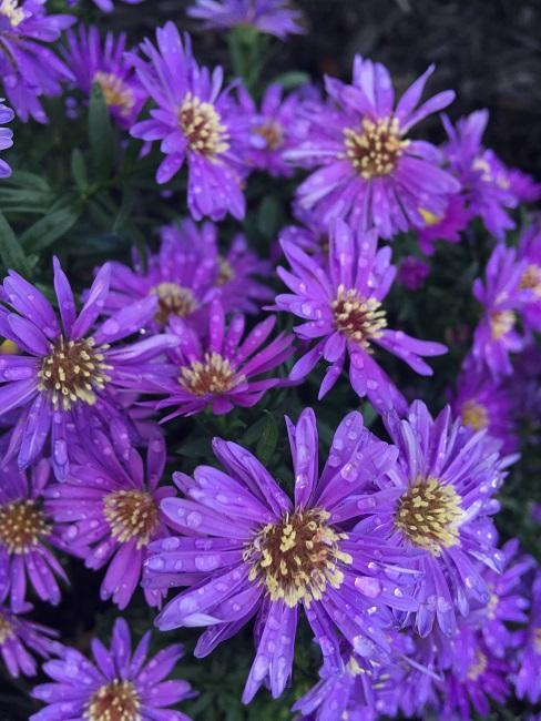 Chinesische Aster in Lila