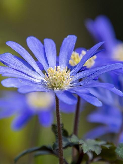 Beetpflanzen Blaue Gänseblümchen