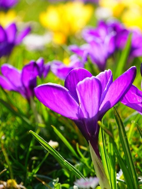 Lila Krokus als Idee für das Blumenbeet im Frühling