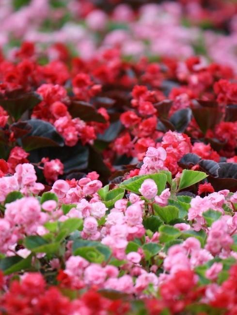 Blumenbeet in den Farben Rot und Rosa