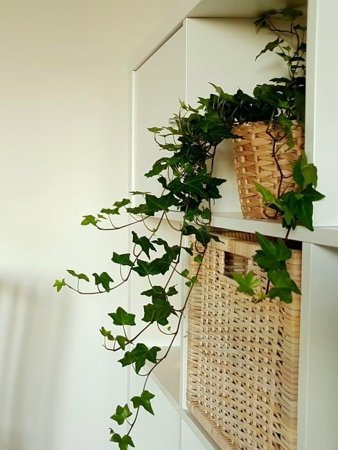 Efeu als Zimmerpflanze