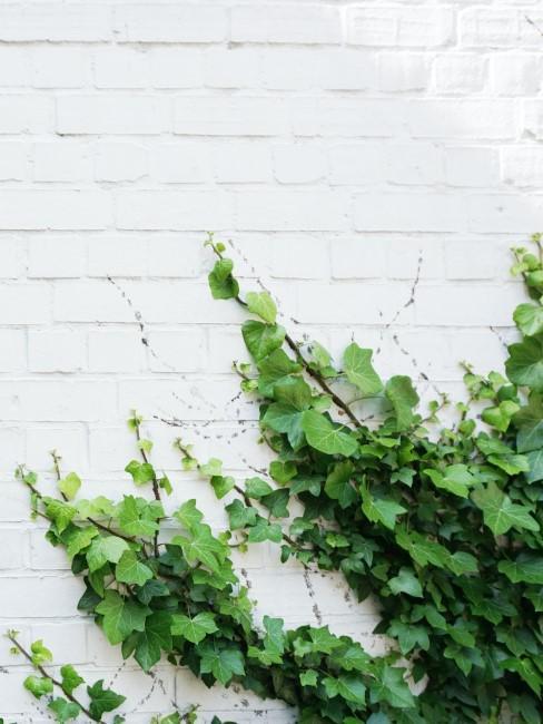 grüner Efeu an weißer Hauswand