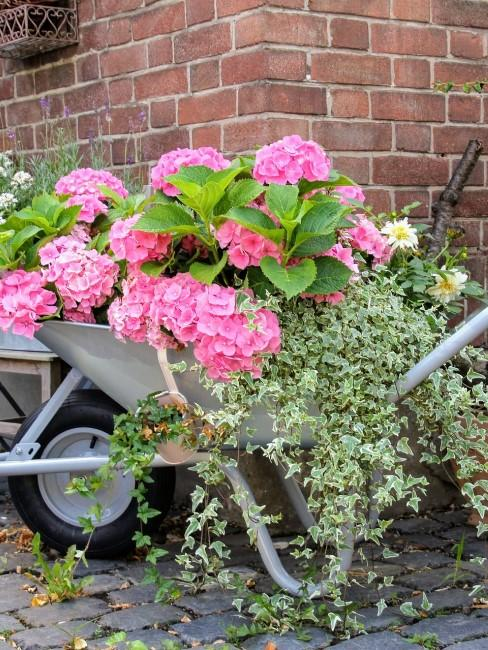 grün-weißer Efeu mit rosa Hortensien in Schubkarre