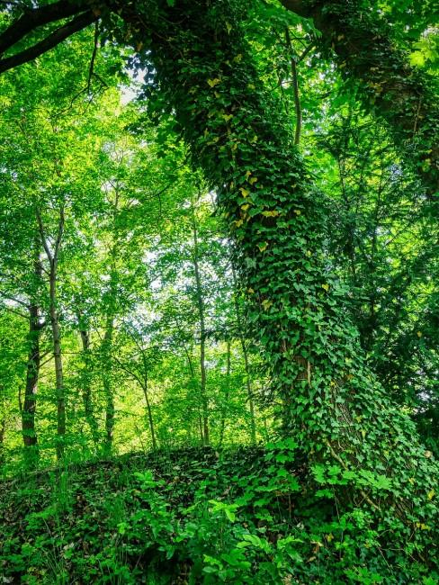 grüner Efeu am Baum im Wald