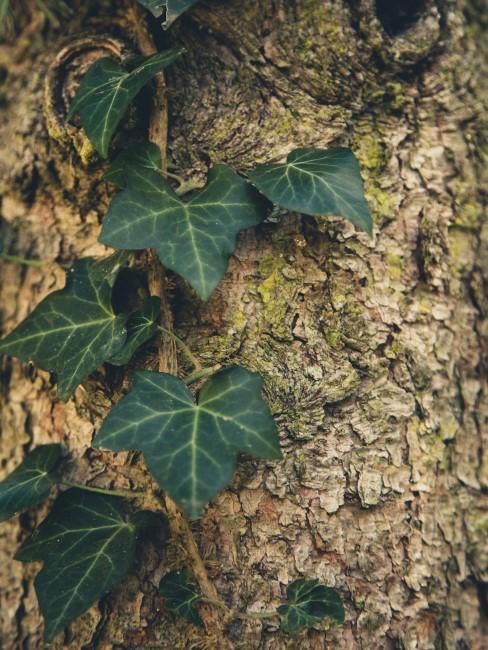 Efeu an Baum