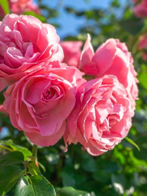Rosen als Klassiker der Gartenbepflanzung