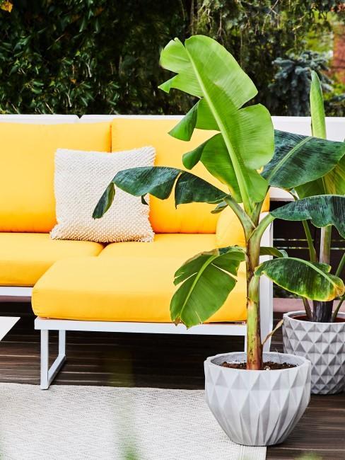 Bananenpflanze im Topf auf der Terrasse