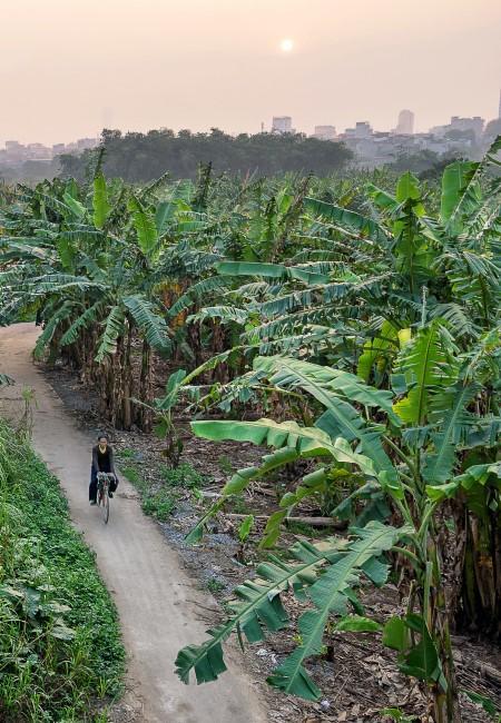 Bananenpflanzen in Vietnam