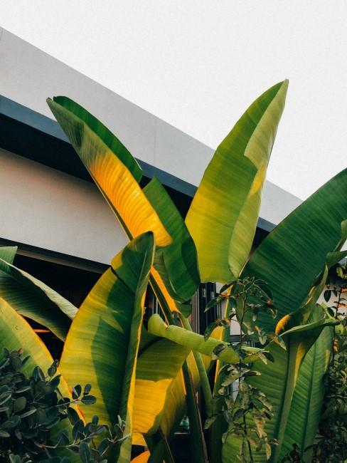 Bananenpflanze im Garten