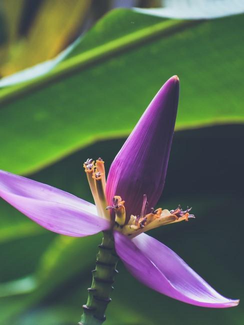 lila Blüte einer Bananenpflanze