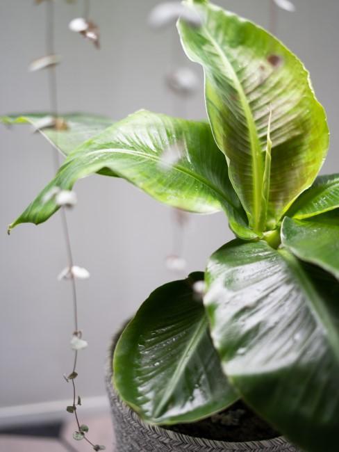 Bananenpflanze im Übertopf