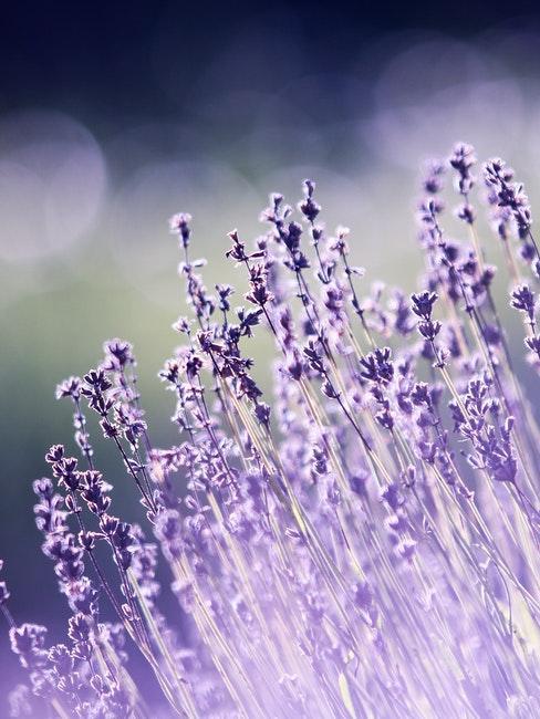Lavendel für den mediterranen Garten