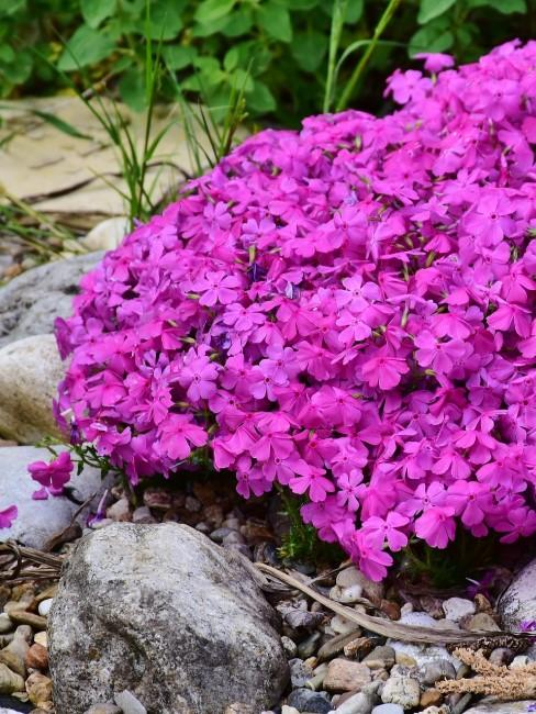 Bodendecker Pflanzen fürs Alpinium