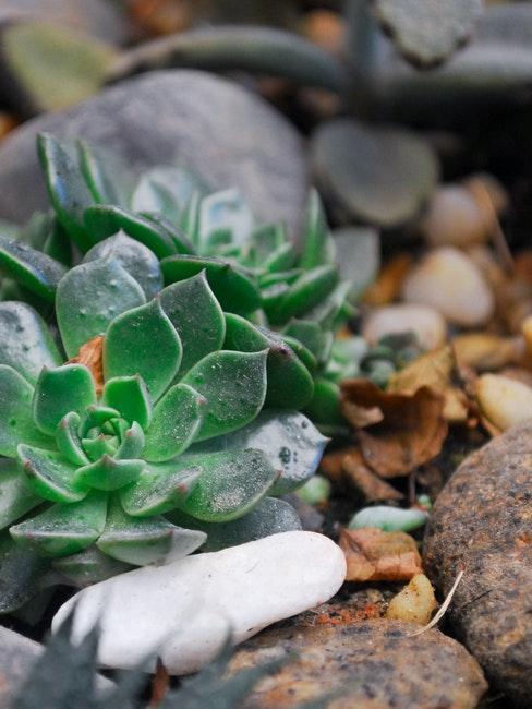 Sukkulenten im Steingarten pflanzen