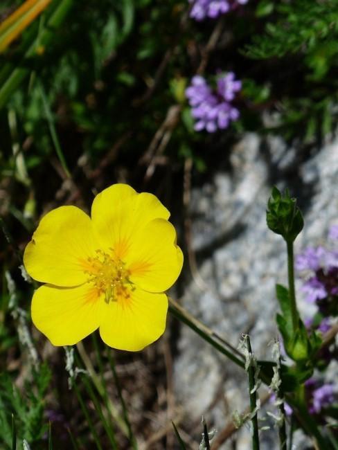 Gelbe Blume im Steingarten