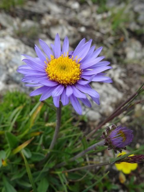 Astern für den alpinen Steingarten