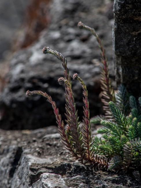 Immergrüne Pflanze wächst am Felsen
