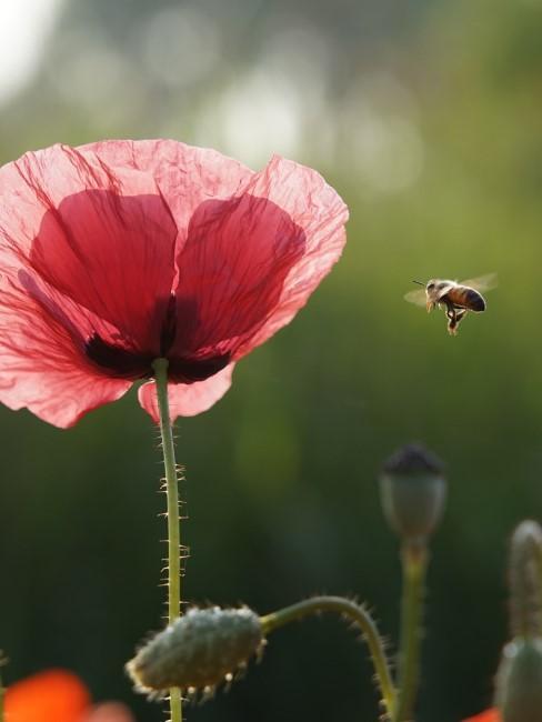 roter Mohn mit Biene