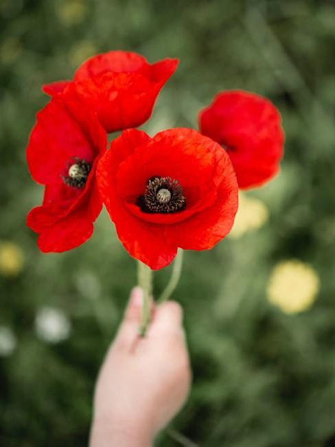 rote Mohnblumen als Geschenk