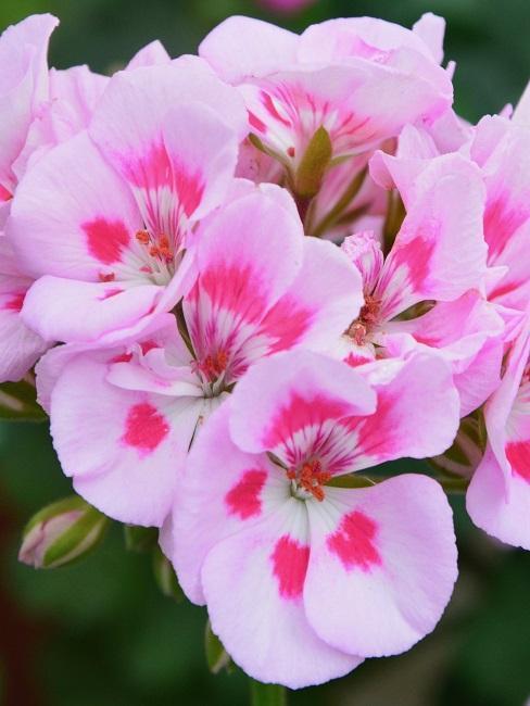 Geranien Blüten Rosa
