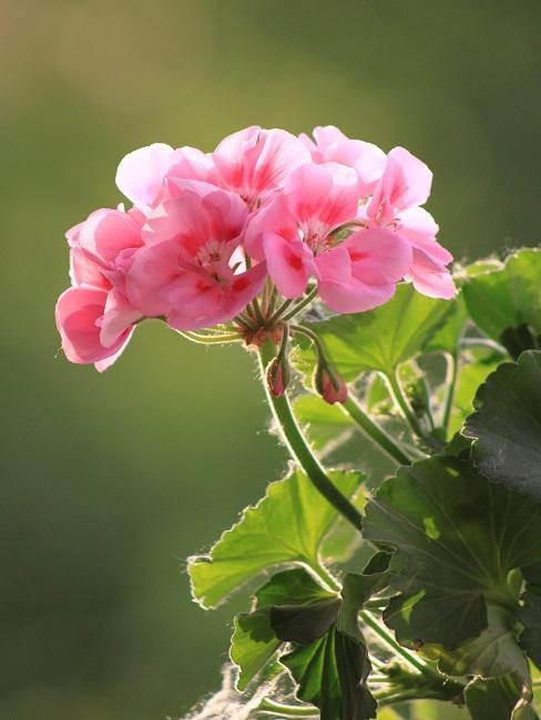 Geranienblüte in Rosa