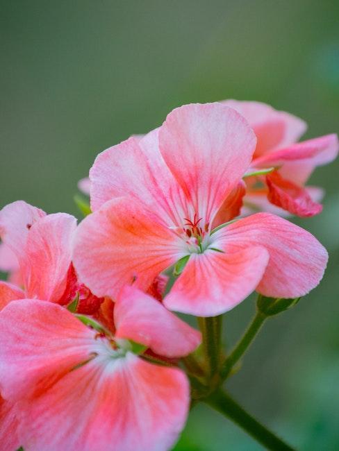 Geranienblüte von Nahem