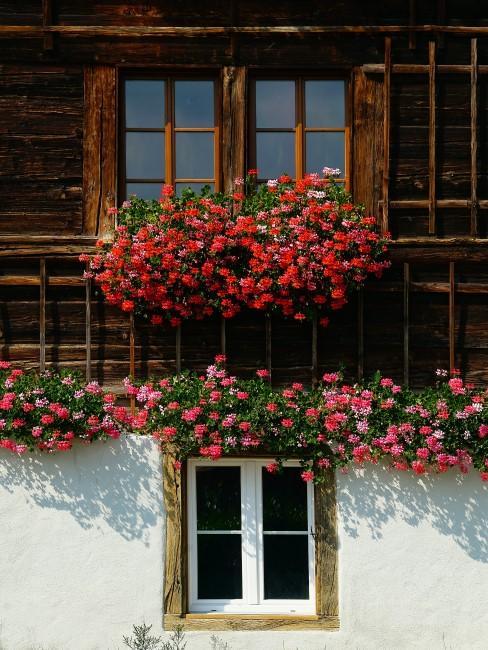 rote und rosa Geranien als Balkonblumen