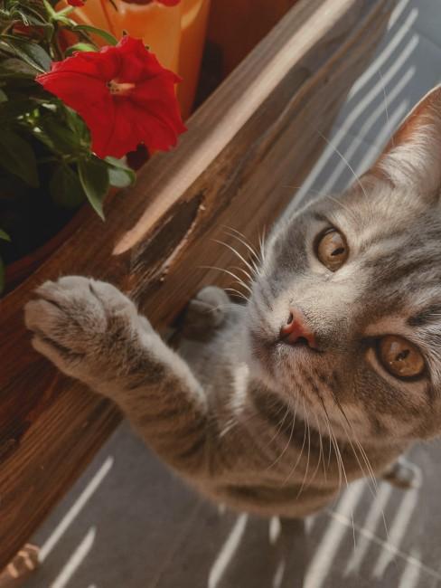 rote Balkonblume im Kasten mit Katze