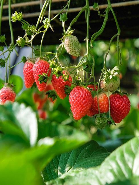 Erdbeeren als Hängepflanzen