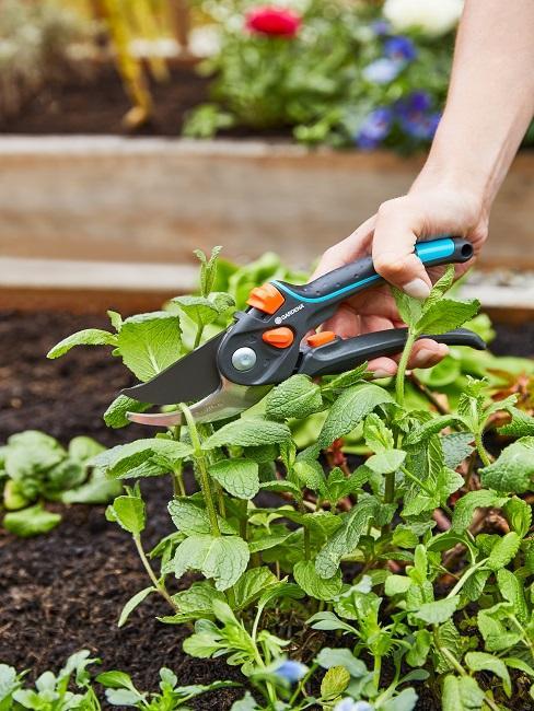 Mit Gartenschere Pfefferminze schneiden