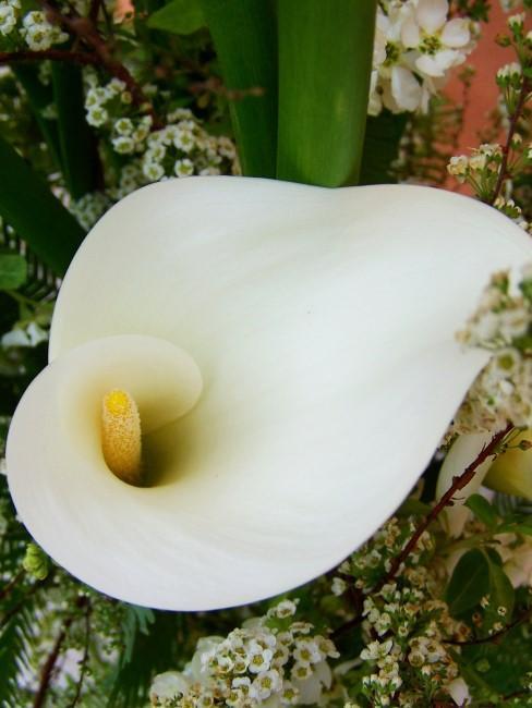 weiße Calla
