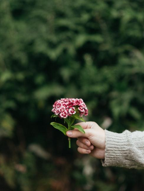 Bartnelkenblüte in der Hand