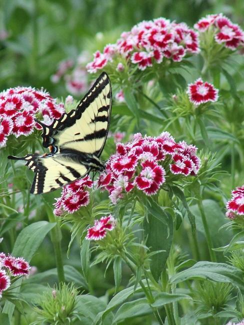 Ein Schmetterling sitzt auf einer Bartnelke