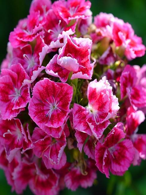 Bartnelkenblüte in Pink