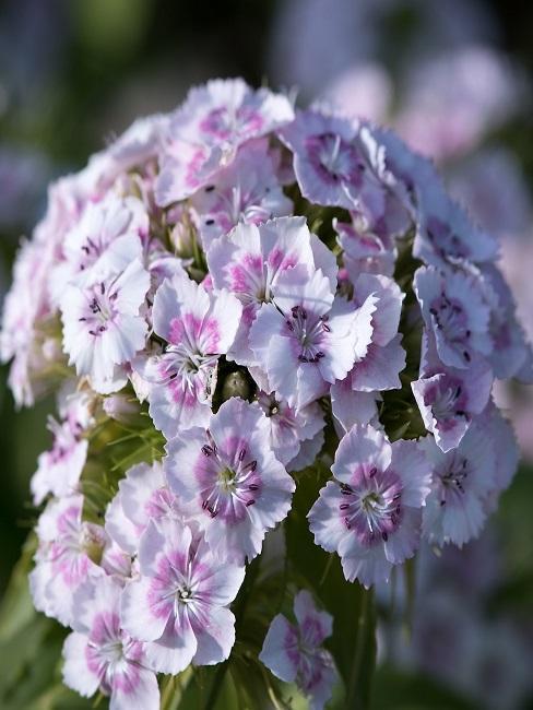 Bartnelkenblüte