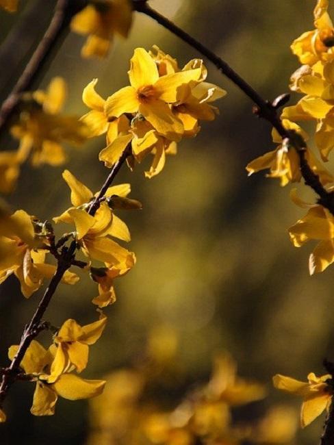 Forsythienzweig mit gelben Blüten