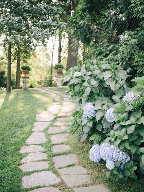 Blaue Rispenhortensie im Garten