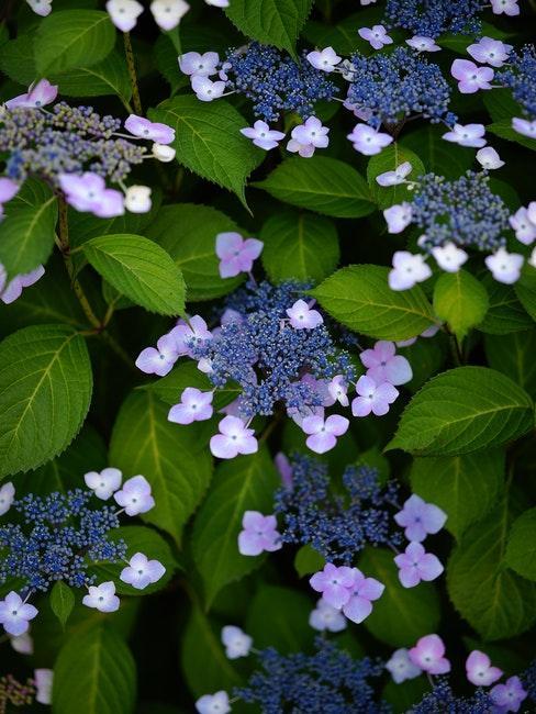 violette Rispenhortensie