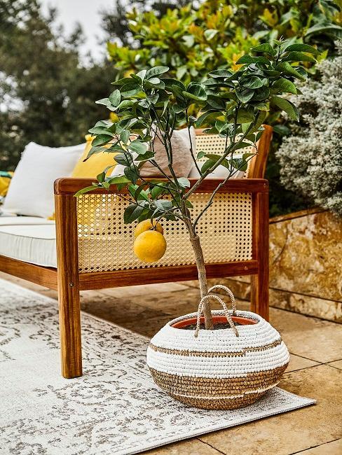 Zitronenbäumchen auf einem Balkon
