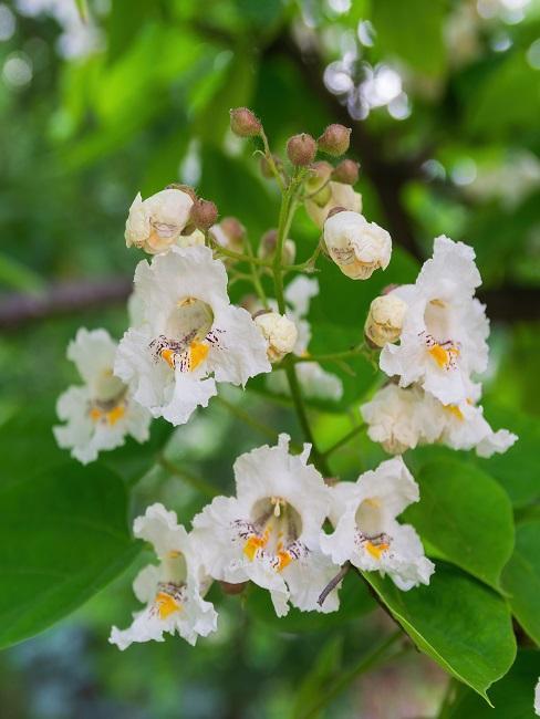 Blüten des Trompetenbaums