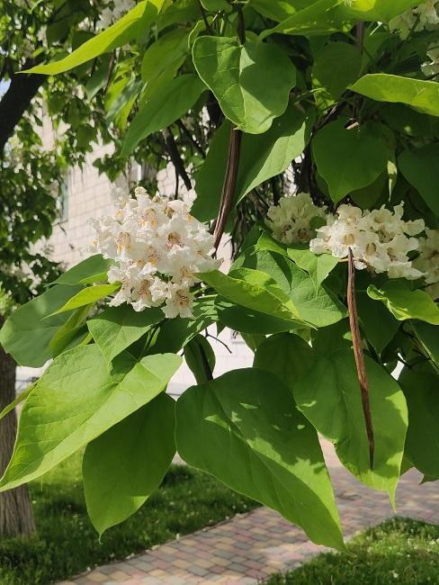 Trombetenbaumblüten in einem Park