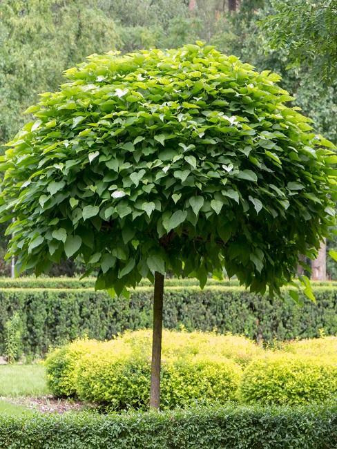 Trompetenbaum im Garten