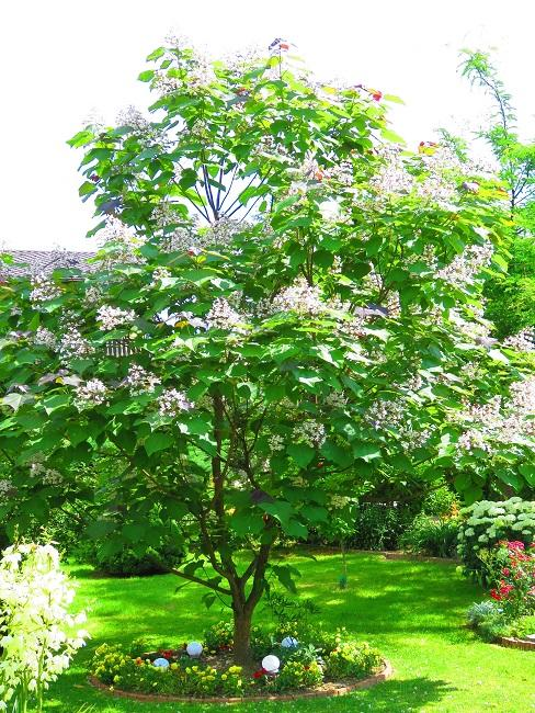 Blühender Trompetenbaum im Garten in einem Beet