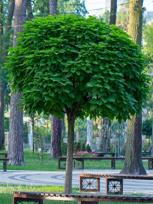 Trompetenbaum in einem Park vor einer Bank