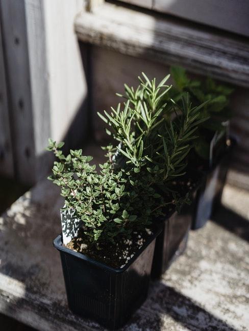 Oregano im kleinen Blumentopf