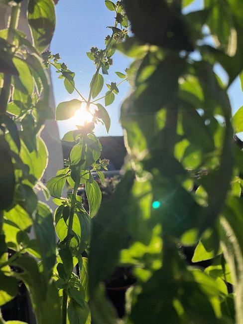 Oregano in der Sonne