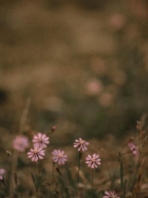 Lila Blumen auf einer Wiese