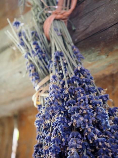 Lavendel zum Trocknen aufgehängt