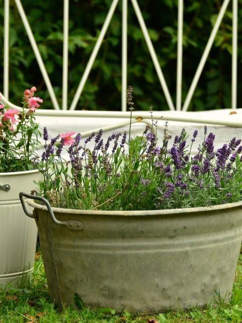 Lavendel in Metallwanne im Garten